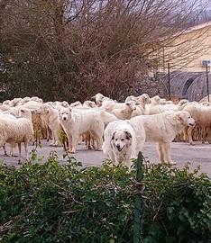 Schafe mit Hunden